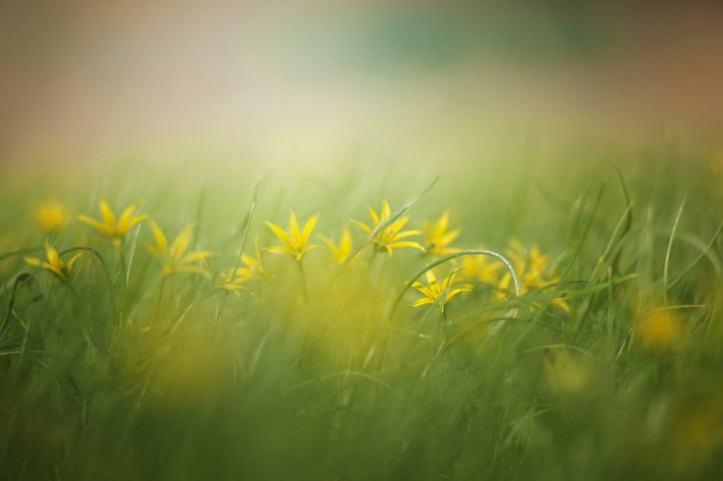 yellow flowers, mist and grass. Used on therapy website, Trance for a Change hypnotherapy